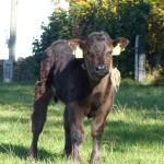 Veau de vache mères du bambois