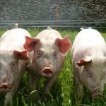 Porcs de pâturage du Bambois 4